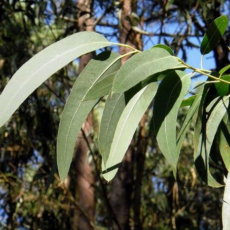 organic_eucalyptus_powder