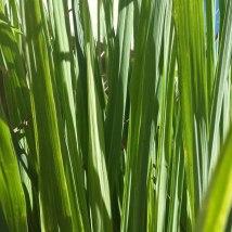 lemongrass_fragrance_oil