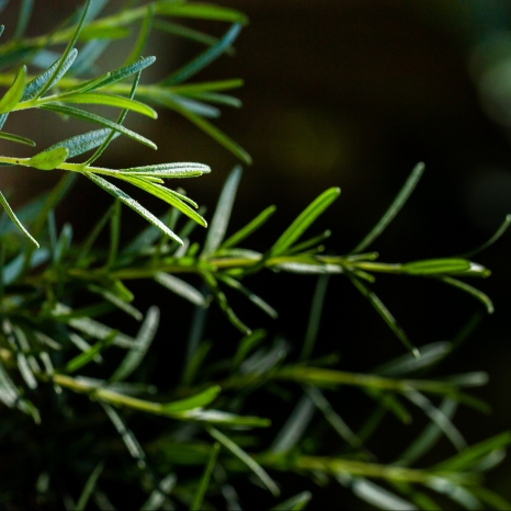 Fresh Rosemary Herb grow outdoor. Rosemary leaves Close-up.